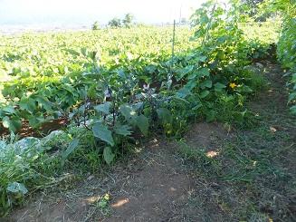 野菜畑全体