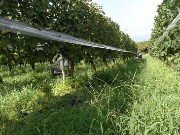 『滝の前』メルロー収穫の様子