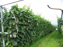 The vineyard 'Kyu-yashiki' by the vertical shoot positioning system.