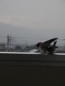ツバメの巣立ち?2