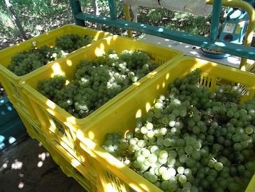 ソーヴィニヨン・ブラン収穫