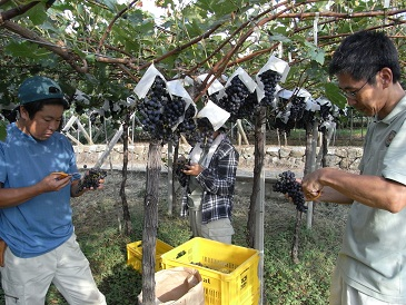 試験園メルロー収穫