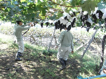 蜂の城メルロー収穫
