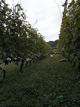北畑CS収穫風景
